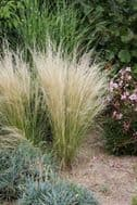 Stipa tenuissima, Pony Tails' 20 Seeds Mexican Feather Grass, Ornamental Grass